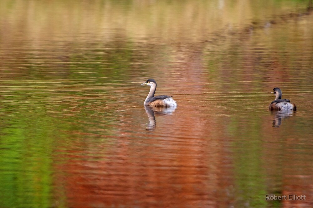 Australasian Grebe  ~ Coloured by the Kimberley by Robert Elliott