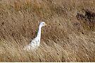 Cattle Egret by Robert Elliott