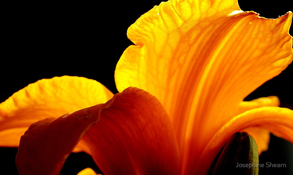 Yellow Lily2 by Josephine Shearn