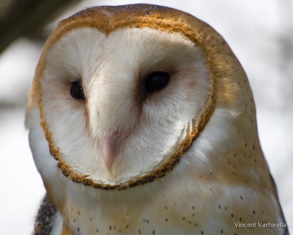 Barn Owl by Vincent Vartorella