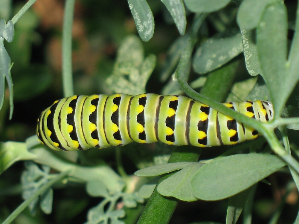 Caterpillar by mobiustwist