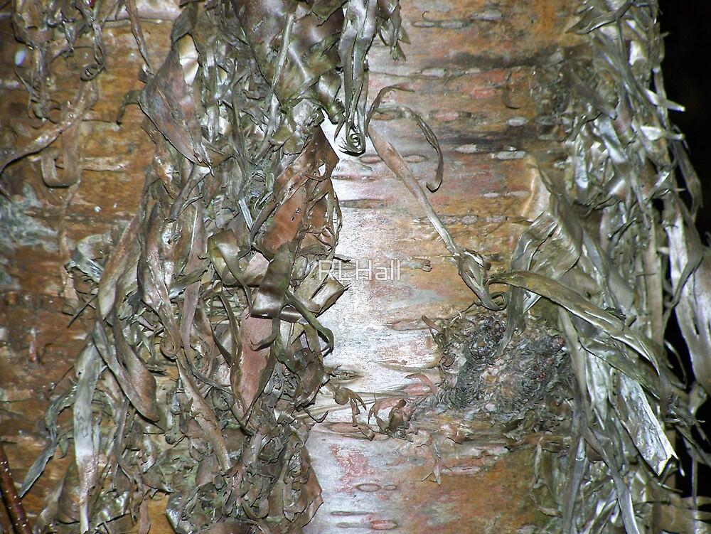 Silver Birch by RLHall