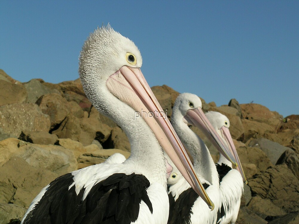 photoj Bird-Pelicans by photoj