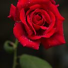 Red of the Rose by Danielle Espin