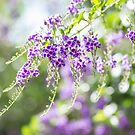 Purple in the morning light by Danielle Espin
