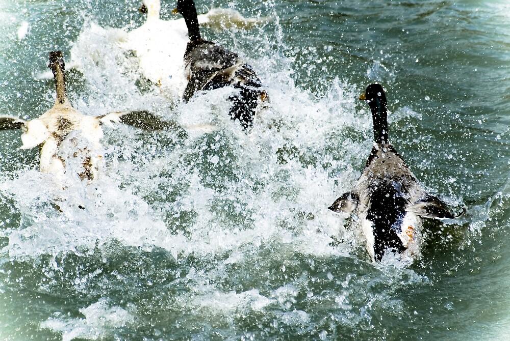 Splish-Splash by Rod  Adams