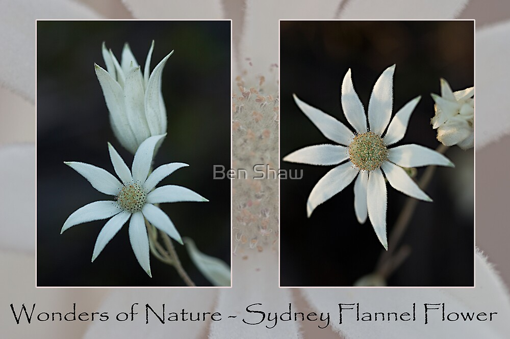 Wonders of Nature - Sydney Flannel Flower by Ben Shaw
