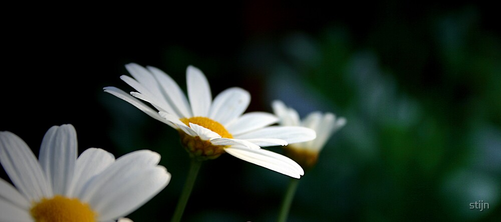 All too daisy by stijn