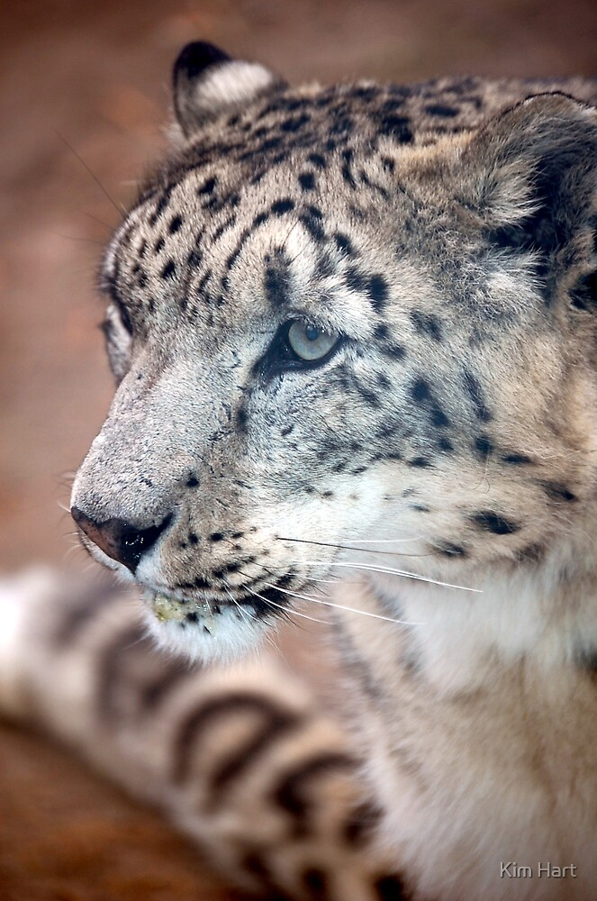 Snow Leopard by Kim Hart