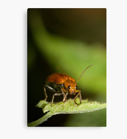 Orange Beetle Canvas Print