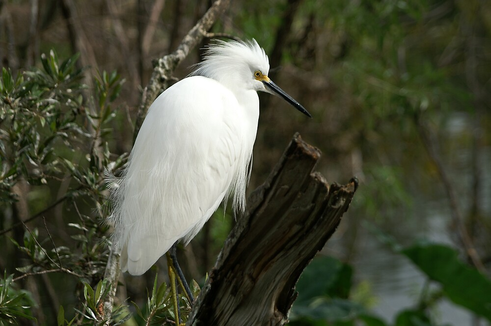 Snowy Egret by kld73