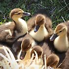 Ducklings by Cynthia48