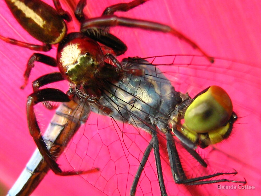 hungry spider by Belinda Cottee