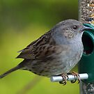 Dunnock by mikebov