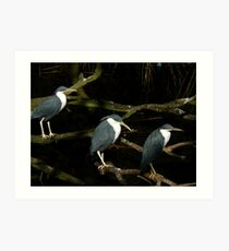 Pied Herons Art Print