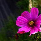 Himmlisches Gänseblümchen von Evita