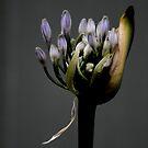 Agaphantus - Frühlingsregen von Evita