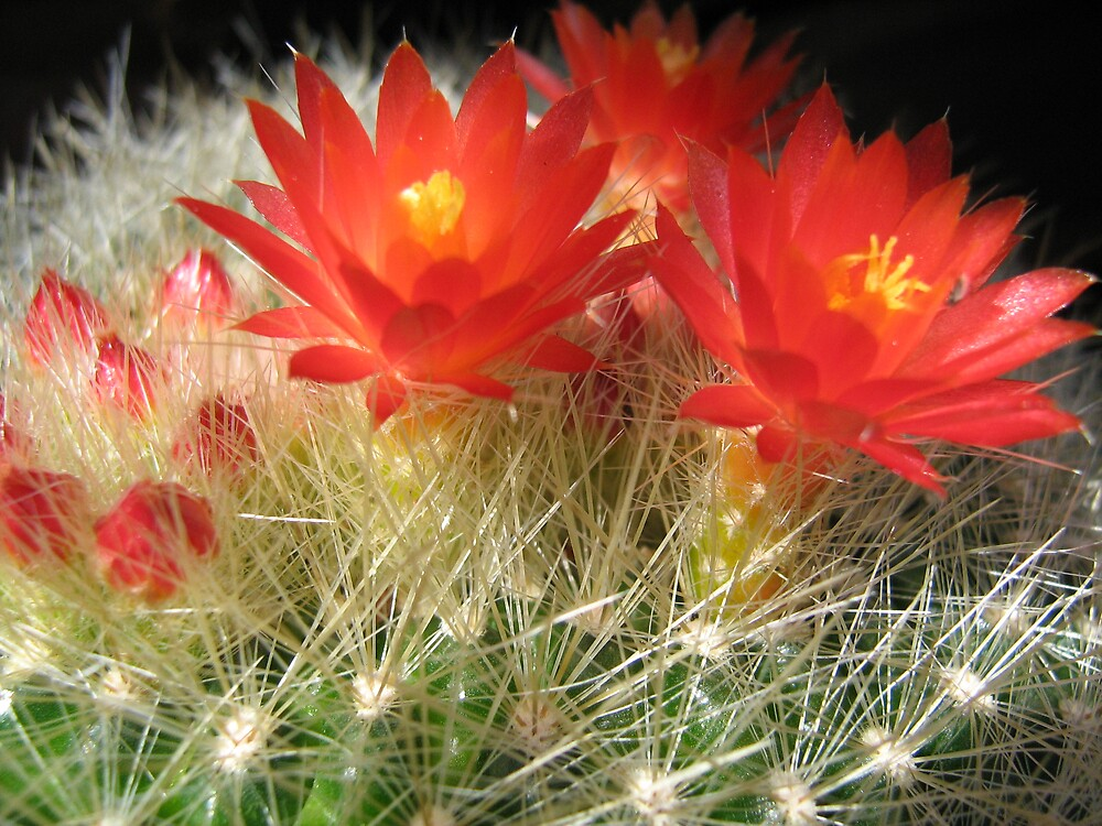 Red Cactus Flower by Patricia  Knowles