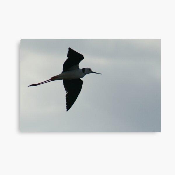 Black Winged Stilt in Full Flight Canvas Print