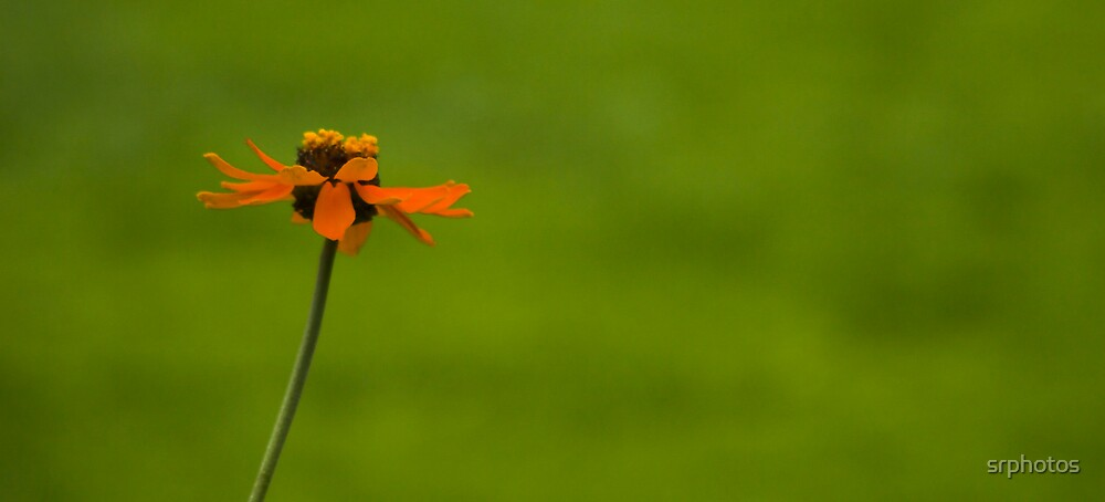 little orange one by srphotos
