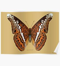 Admiral Butterfly Poster