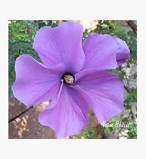 Native hibiscus alyogyne huegeli Photographic Print