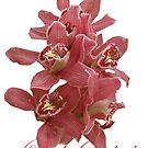 Pink Orchid by Alex Gardiner