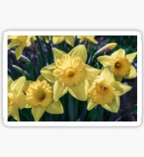 Spring Time Daffodils Sticker