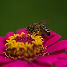 Zinnia Bee by Clare Colins
