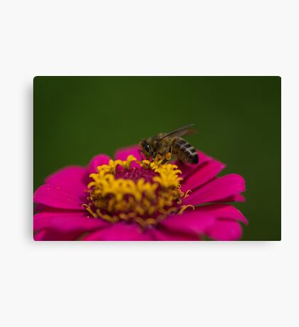 Zinnia Bee Canvas Print