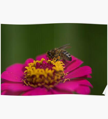 Zinnia Bee Poster