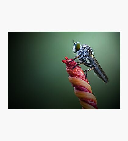 Robber Fly Photographic Print