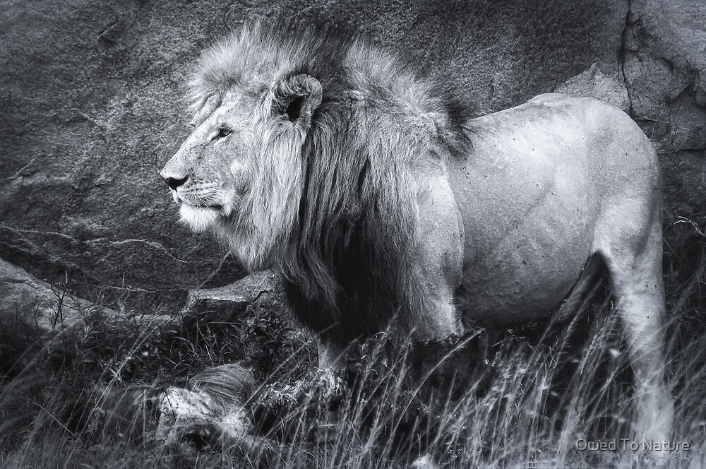 King of beasts – Black & White version by Owed To Nature