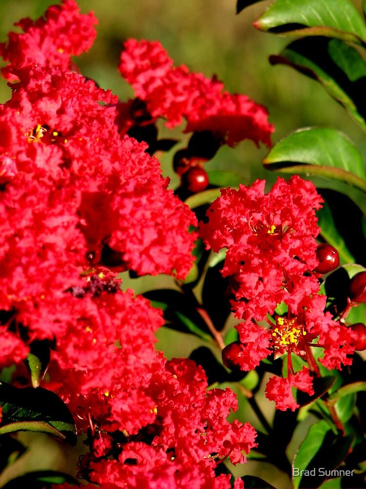 Red Crepe Myrtle by Brad Sumner