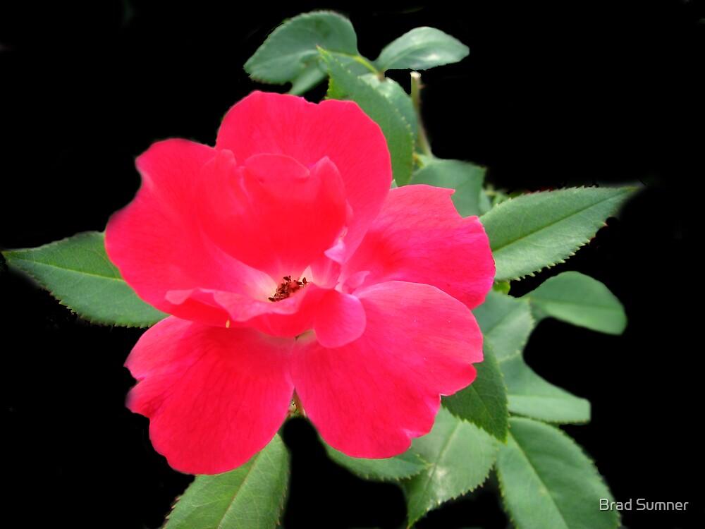 Flower in Red by Brad Sumner