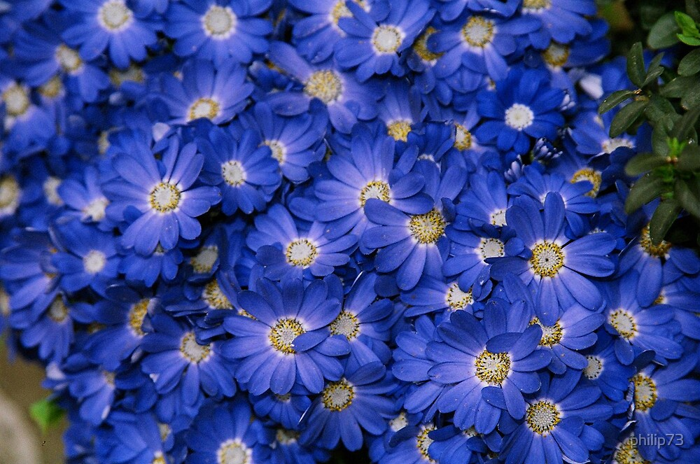 Blue Flowers by philip73