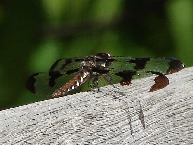 Dragonfly by inventor