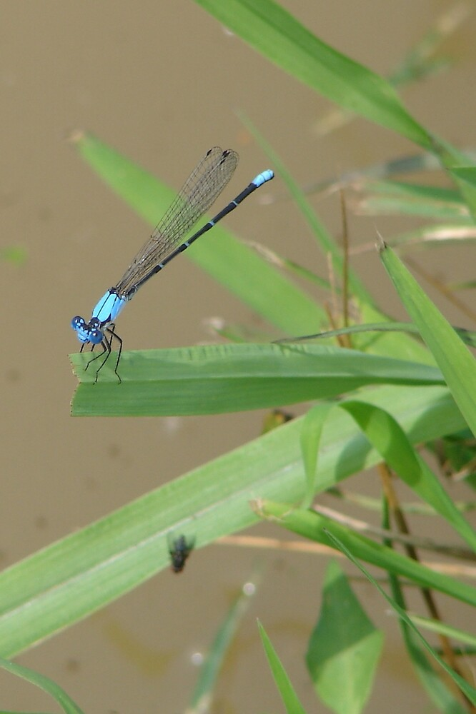 Blue Damselfly by inventor