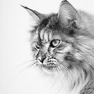 Maine Coon Silver Tabby Cat by EHillson