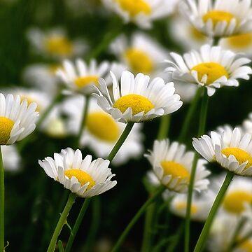 Field Of Daisies by kdxweaver