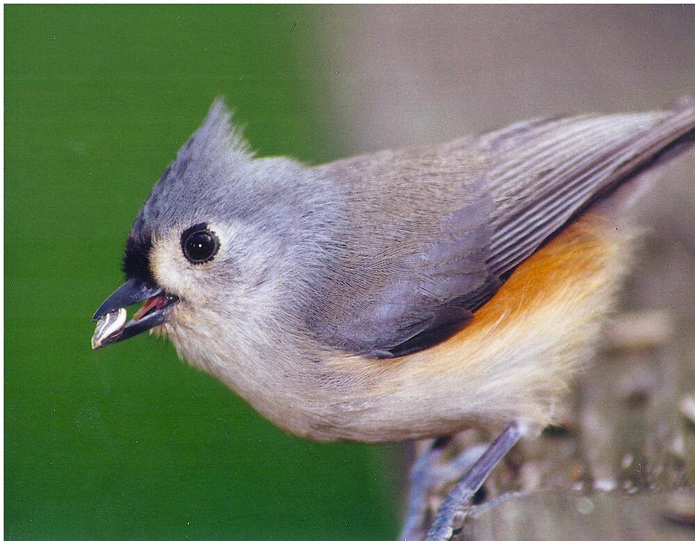 Titmouse Bird by Beaner