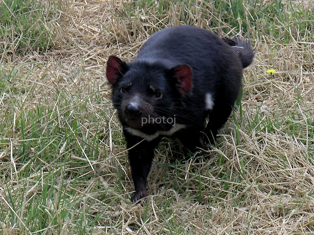photoj animal, Tassie Devil by photoj