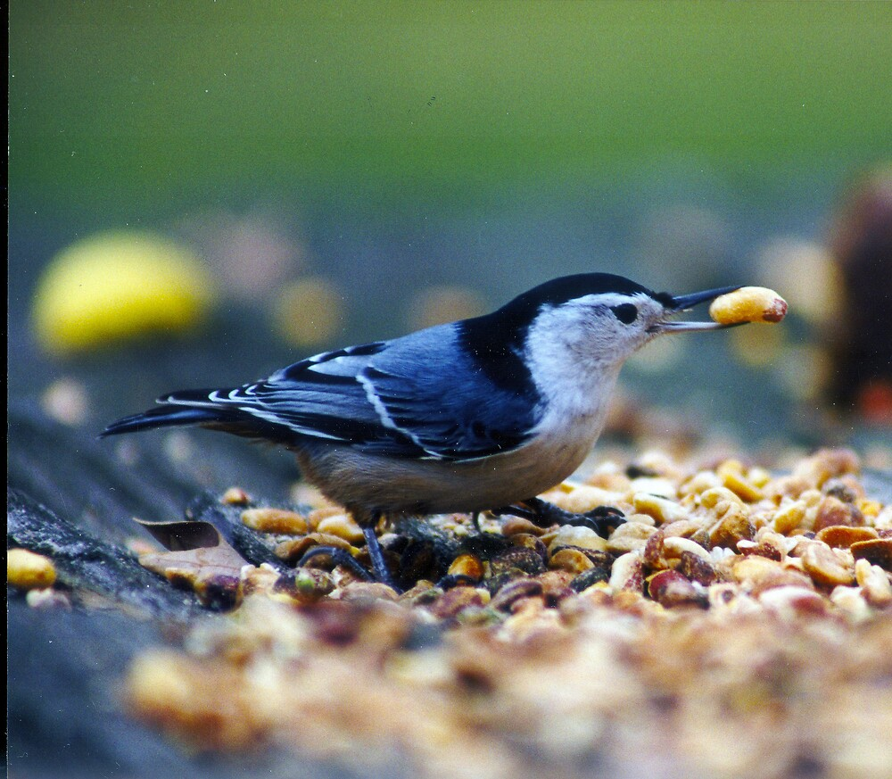 White Breasted Nuthatch by Beaner