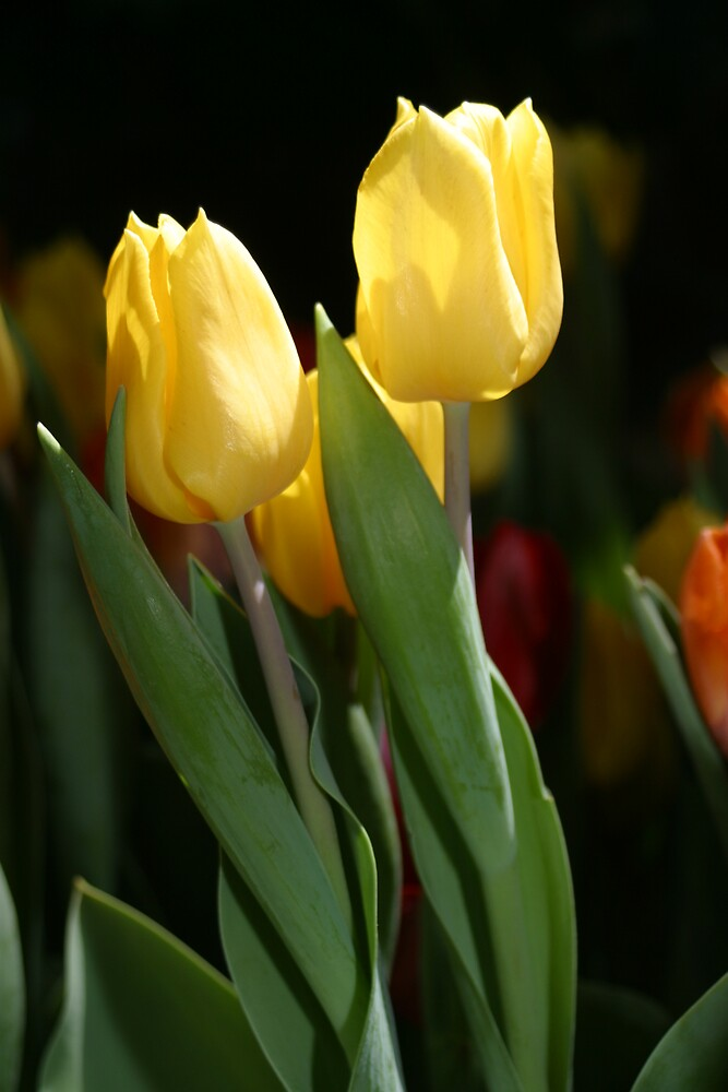 2 Tulips Together by Beaner