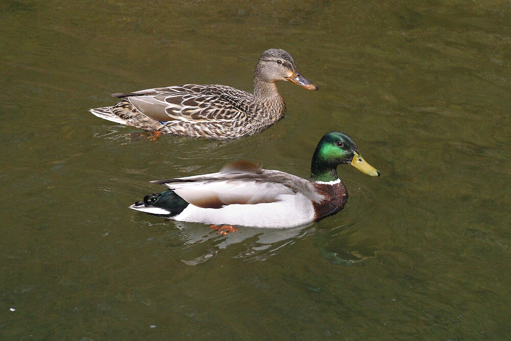 Mr. and Mrs. Duck by Beaner