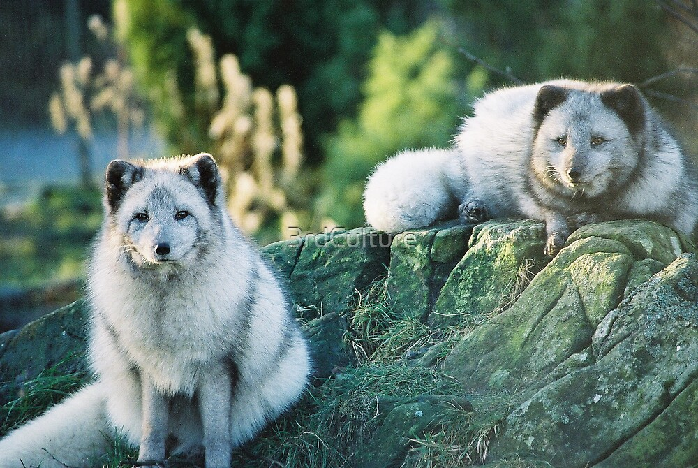 Arctic Foxes by 3rdCulture