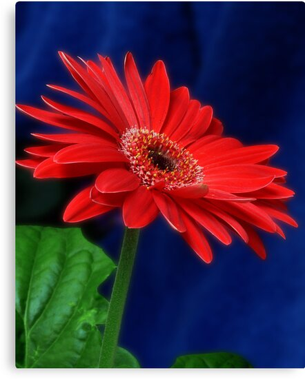 Gerbera by margotk