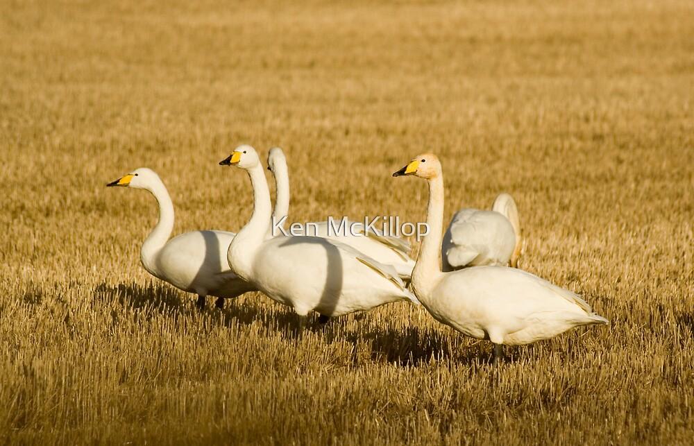 swans by Ken McKillop
