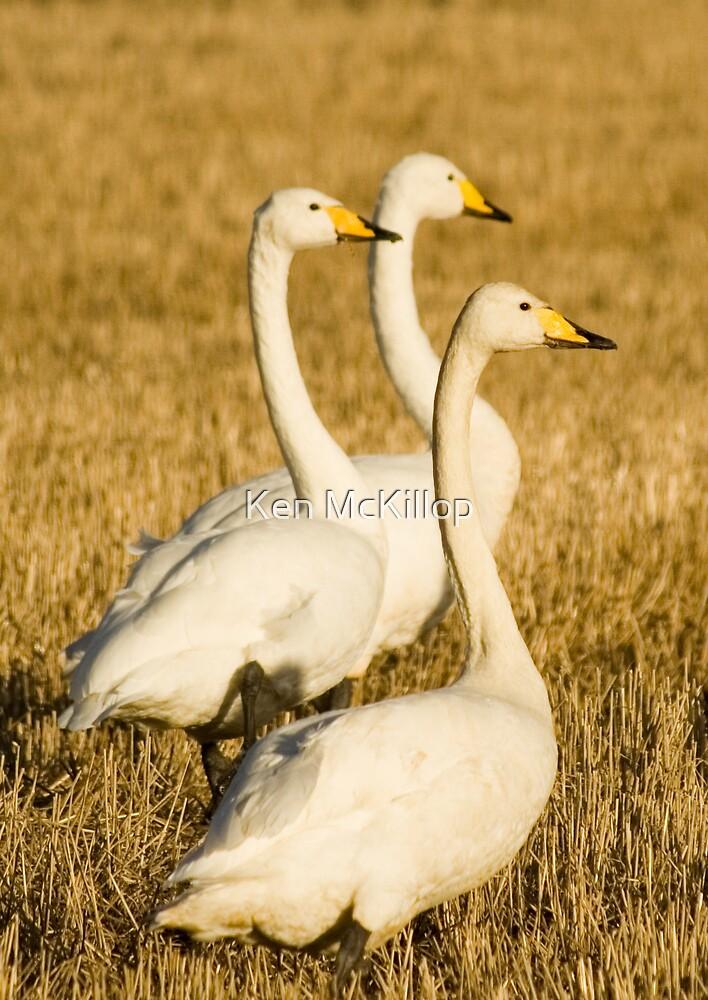 swans on stubble by Ken McKillop
