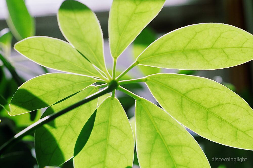 Green Leaves by discerninglight